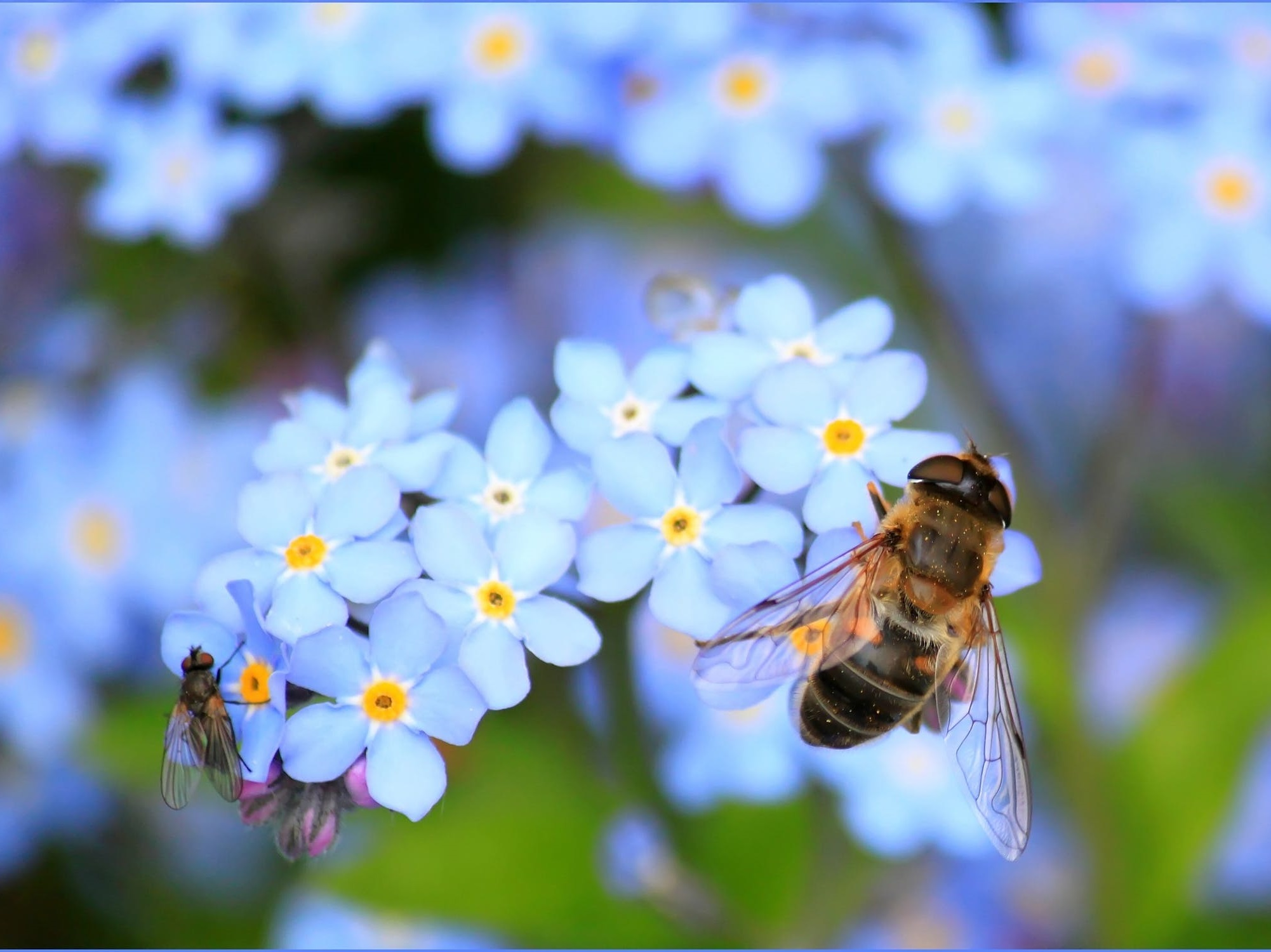 forget-me-not-hoverfly-fly-flower-60579-158349876226322051052-1.jpeg